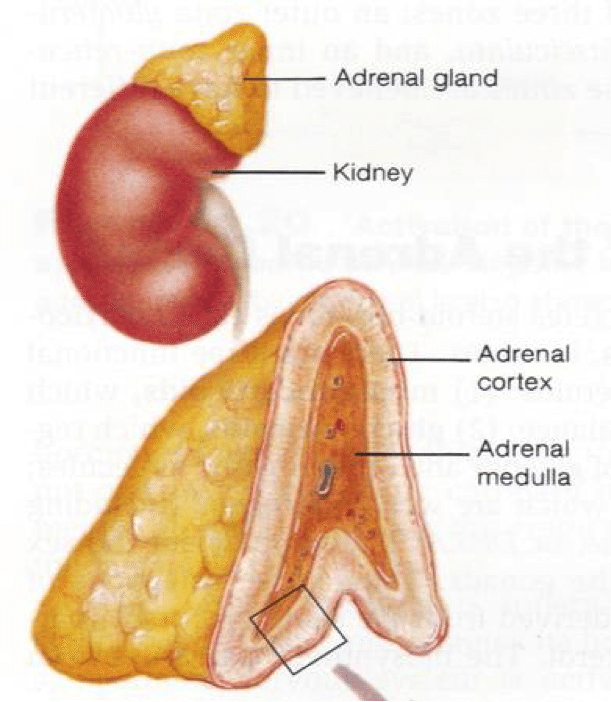 adrenal-anatomy